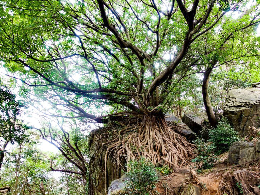 宇土天草半島 西平椿公園 アコウの木